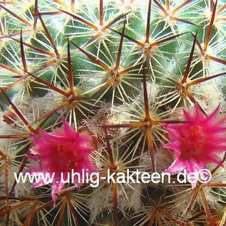 Mammillaria ruestii   Guatemala