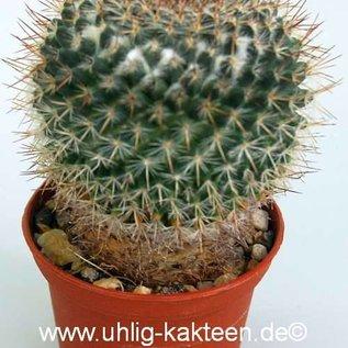 Mammillaria sonorensis