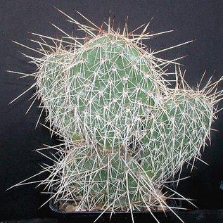 Opuntia hystricina cv. Hall (dw)
