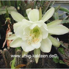 Epiphyllum crenatum WK 435 v. kimnachii San Cristobal, Mx