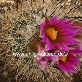 Gymnocactus beguinii  v. senilis    CITES, not outside EU