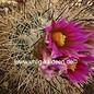 Gymnocactus beguinii v. senilis     CITES, not outside EU
