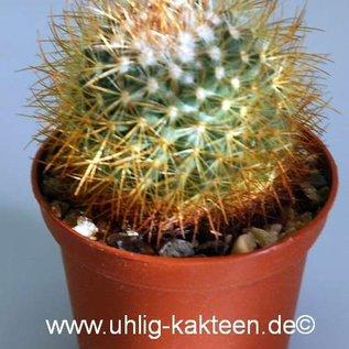 Mammillaria pringlei   Tultenango Can.,S.L.P.