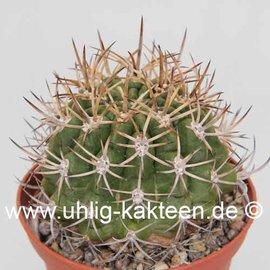 Pyrrhocactus spec.  La Ligua Nord Chile