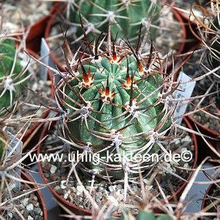 Lobivia ferox v. longispina FR 333 (syn. L. longispina)