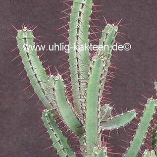 Euphorbia griseola