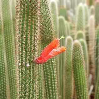 Cleistocactus baumannii ssp. horstii HU 373