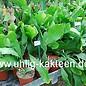 Epiphyllum pittieri