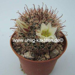 Mammillaria dioica   S of Catavina, BC
