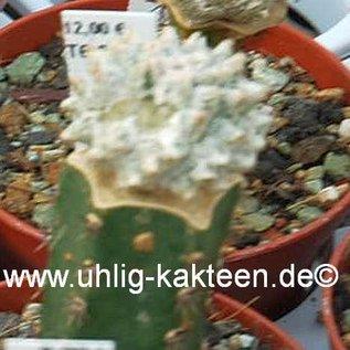 Astrophytum myriostigma cv. Lotusland   gepfr.