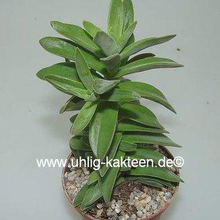 Crassula perfoliata v. heterotricha