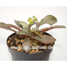 Euphorbia francoisii   Madagaskar   CITES, not outside EU