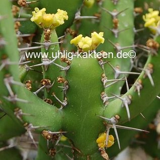 Euphorbia inarticulata   N.Jemen