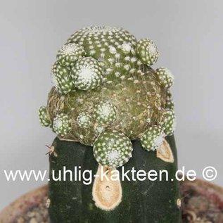 Blossfeldia liliputana  tarabucoensis   gepfr.