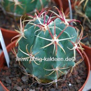 Ferocactus recurvus