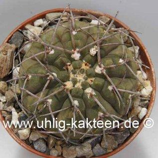 Gymnocalycium bodenbenderianum v. mirandaense comb. prov. P 222