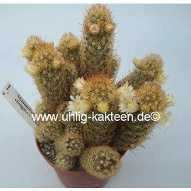 Mammillaria elongata  v. echinata