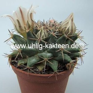 Mammillaria heyderi ssp. meiacantha
