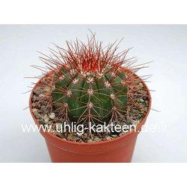 Melocactus neomontanus