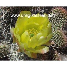 Opuntia polyacantha  Reedpoint Montana`     (dw)