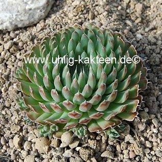 Orostachys spinosa   Himalaya, Mongolai    (dw)