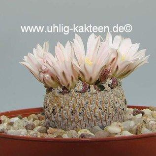 Mammillaria pectinifera      CITES, not outside EU
