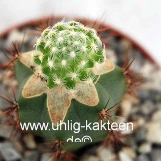 Mammillaria saboae  ssp. goldii  gepfr.