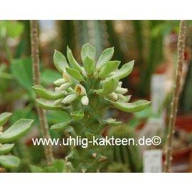 Monadenium spec. R 50590  Tansania