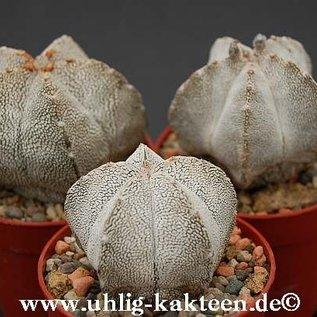 Astrophytum myriostigma cv. Onzuka   gepfr.