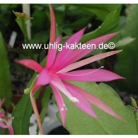 Disophyllum-Hybr. `Frühlingsanfang`  rosa