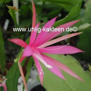 Disophyllum-Hybr. Frühlingsanfang