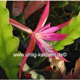 Disophyllum-Hybr. `Frühlingsrauschen`  violett