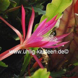 Disophyllum-Hybr. Frühlingsrauschen