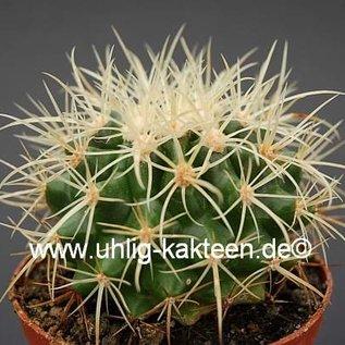 Echinocactus grusonii cv. Krauskopf