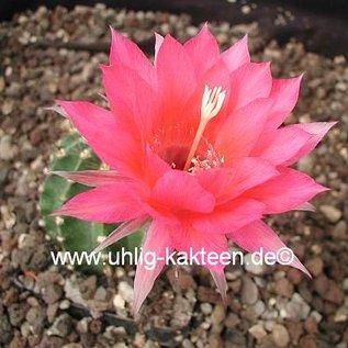 Echinopsis-Hybr. Brunhild  Rheingold 255