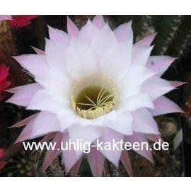 Echinopsis-Hybr. Harry