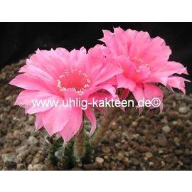Echinopsis-Hybr. Johann Strauss Rheingold 216