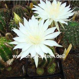 Echinopsis-Hybr. `Mantana`