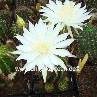 Echinopsis-Hybr. Mantana
