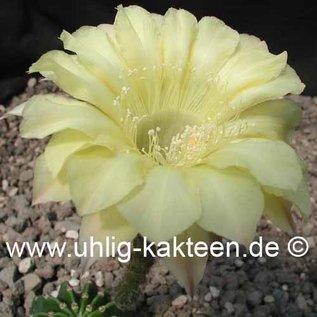 Echinopsis-Hybr. Melba   Blüte gelb / yellow