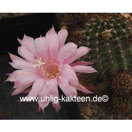Echinopsis-Hybr. Passo CM 42