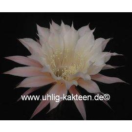 Echinopsis-Hybr. Passo CM 03 Elfenbein