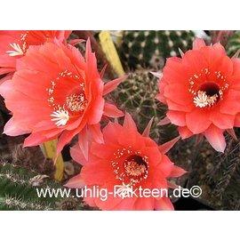 Echinopsis-Hybr. `Pomalka` Serie 318