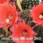 Echinopsis-Hybr. Pomalka  Serie 318
