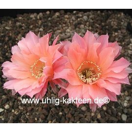 Echinopsis-Hybr. `Salmon Queen` Serie 388