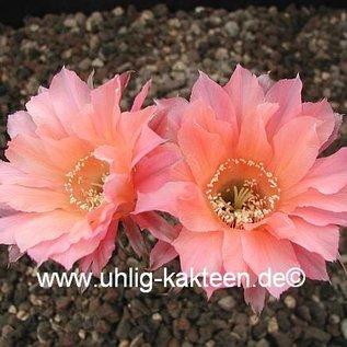 Echinopsis-Hybr. `Salmon Queen` Serie 388