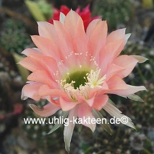 Echinopsis-Hybr. Salome