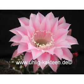 Echinopsis-Hybr. `Torero` Rheingold 289