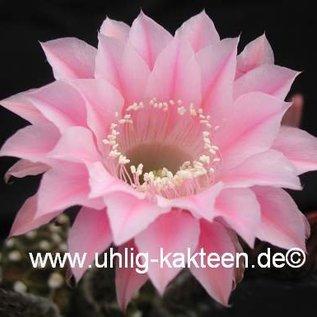 Echinopsis-Hybr. Torero Rheingold 289