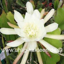 Epiphyllum-Hybr. Castra de Oro
